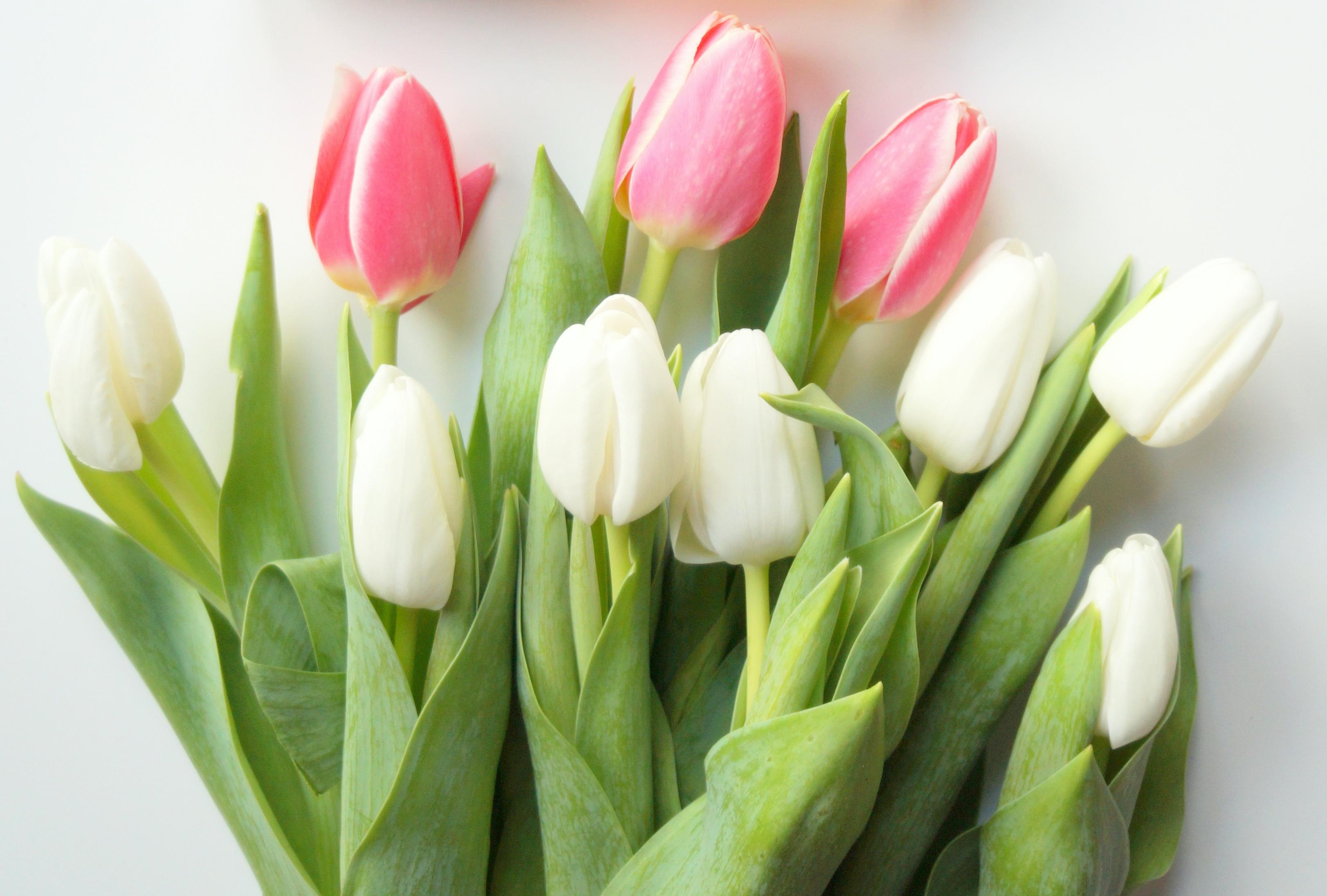 ulipan byredo la tulipe edpholiczka